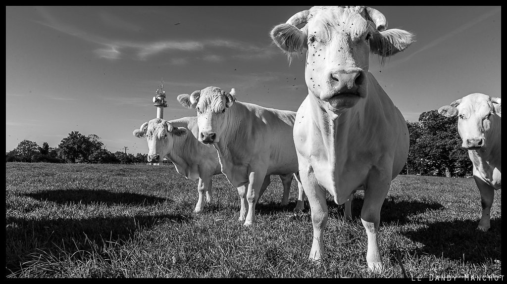 Des vaches et des antennes